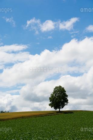丘の上のシラカバの木と夏空の写真素材 [FYI01250501]