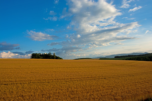 収穫前のムギ畑と青空の写真素材 [FYI01250503]