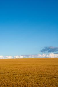 収穫前のムギ畑と青空の写真素材 [FYI01250504]
