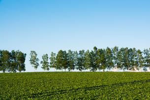 緑の野菜畑と青空 美瑛町の写真素材 [FYI01250505]