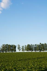 緑の野菜畑と青空 美瑛町の写真素材 [FYI01250506]