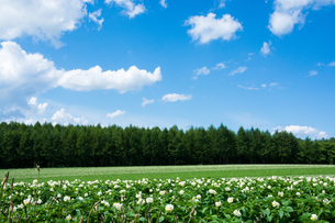 白い花が咲いたジャガイモ畑と青空の写真素材 [FYI01250508]