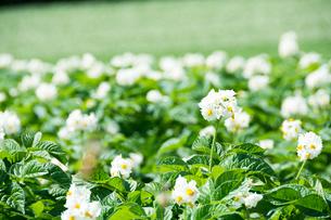 白いジャガイモの花の写真素材 [FYI01250509]