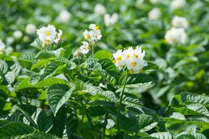 白いジャガイモの花の写真素材 [FYI01250510]