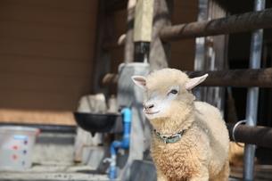 子羊の写真素材 [FYI01250564]