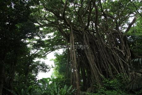 ガジュマルの森の写真素材 [FYI01250574]