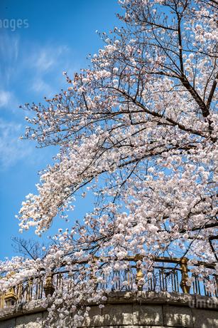 桜の写真素材 [FYI01250624]