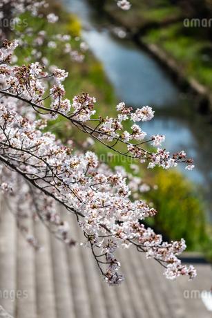 桜の写真素材 [FYI01250628]