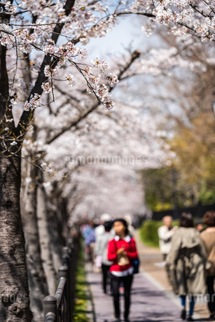 花見の写真素材 [FYI01250630]
