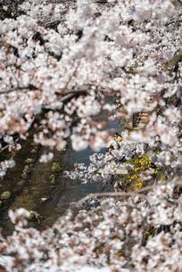お花見の写真素材 [FYI01250634]