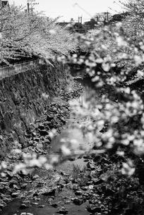 桜 満開の写真素材 [FYI01250640]