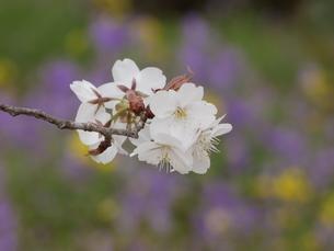 桜の花の写真素材 [FYI01250653]