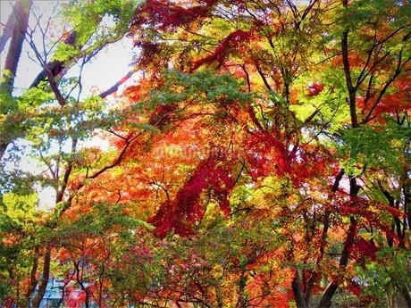 紅葉の秋の写真素材 [FYI01250663]