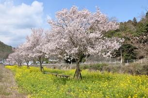 猪名川河畔の桜並木の写真素材 [FYI01250699]