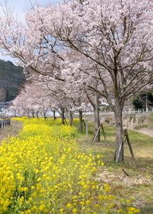 猪名川河畔の桜並木の写真素材 [FYI01250703]
