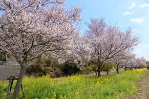 猪名川河畔の桜並木の写真素材 [FYI01250705]