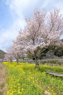 猪名川河畔の桜並木の写真素材 [FYI01250707]