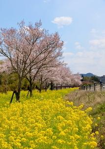 猪名川河畔の桜並木の写真素材 [FYI01250708]