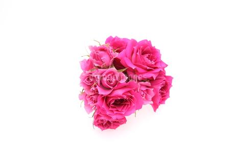 薔薇の写真素材 [FYI01250780]