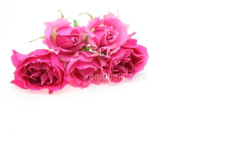 薔薇の写真素材 [FYI01250781]