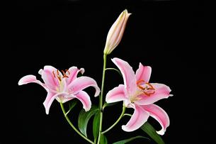 黒背景のユリの花の写真素材 [FYI01250953]