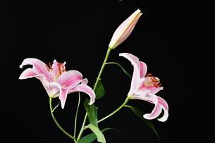 黒背景のユリの花の写真素材 [FYI01250954]