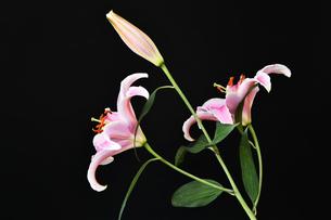 黒背景のユリの花の写真素材 [FYI01250956]