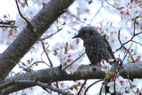 桜とヒヨドリの写真素材 [FYI01250961]