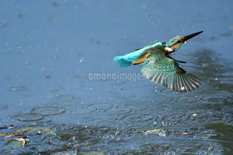 カワセミの飛翔の写真素材 [FYI01251056]