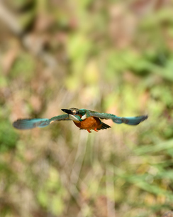 カワセミの飛翔の写真素材 [FYI01251057]
