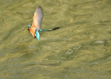 カワセミの飛翔の写真素材 [FYI01251058]