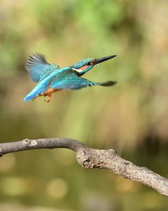 カワセミの飛翔の写真素材 [FYI01251059]