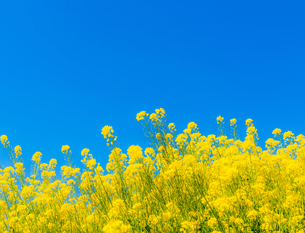 菜の花の写真素材 [FYI01251063]