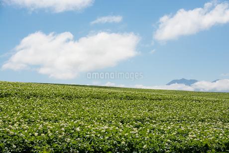 花が咲いているジャガイモ畑と青空の写真素材 [FYI01251095]