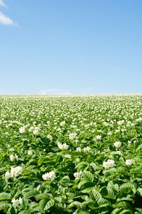 花が咲いているジャガイモ畑と青空の写真素材 [FYI01251098]