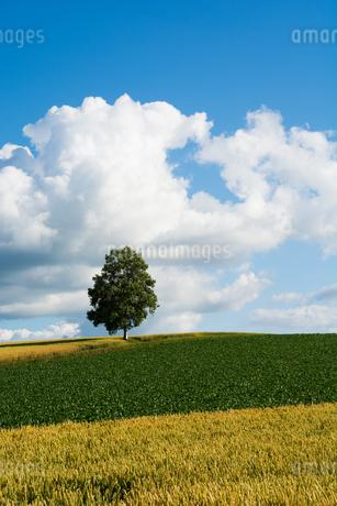 畑の丘の上に発つシラカバの木と青空の写真素材 [FYI01251102]