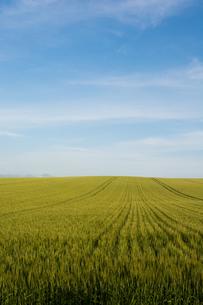緑のムギ畑と青空の写真素材 [FYI01251107]