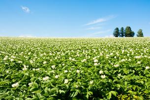 花が咲いているジャガイモ畑と青空の写真素材 [FYI01251111]