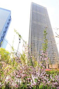 西新宿高層ビルと桜の写真素材 [FYI01251158]