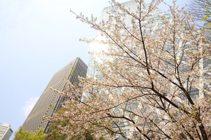 西新宿高層ビルと桜の写真素材 [FYI01251161]