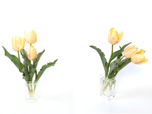ガラス花瓶に挿したチューリップの写真素材 [FYI01251186]