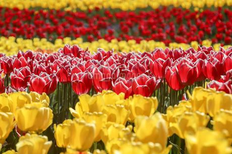チューリップの花畑の写真素材 [FYI01251192]