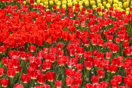 チューリップの花畑の写真素材 [FYI01251194]