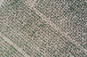 ドローンで撮影したキャベツ畑の写真素材 [FYI01251489]
