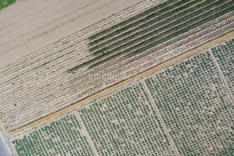 ドローンで撮影したキャベツ畑の写真素材 [FYI01251490]