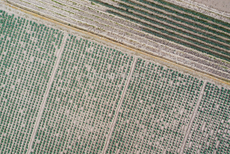 ドローンで撮影したキャベツ畑の写真素材 [FYI01251491]