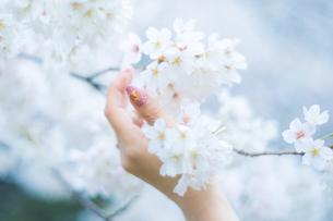 桜と女性の手の写真素材 [FYI01251493]