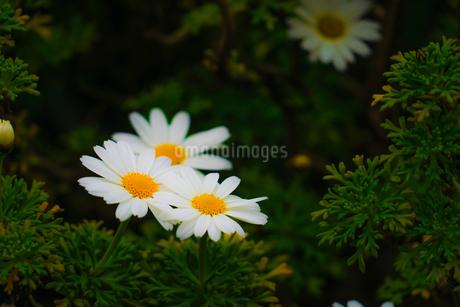 カモミールの写真素材 [FYI01251575]