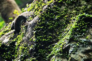 岩に張り付いたコケのイメージの写真素材 [FYI01251664]