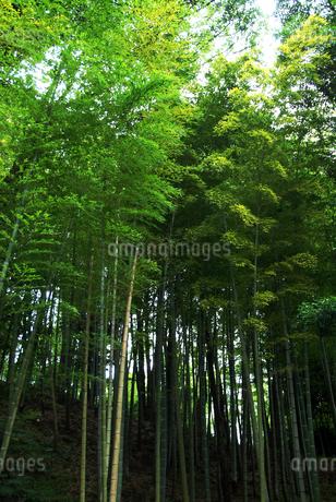 まっすぐに伸びた竹の群集の写真素材 [FYI01251665]